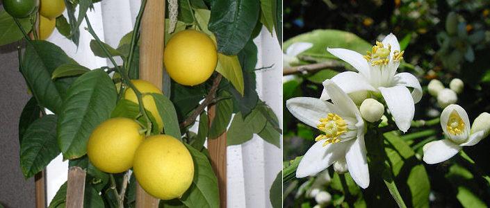 от чего сохнут листья у лимона комнатного